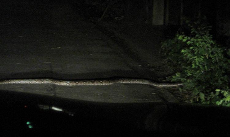 งูไหญ่เลื้อยตัดหน้ารถ บอกเลขเด็ดนำโชค